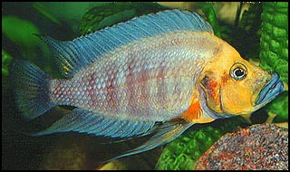 A.%20compressiceps%20Mutondwe%20Golden%20Head.jpg