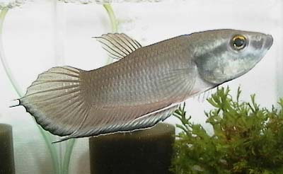 Betta breviobesus